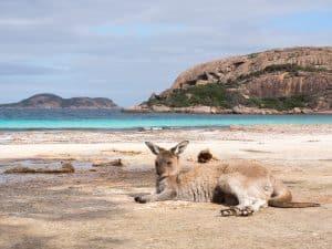 Kangaroo on the beach at Lucky Bay